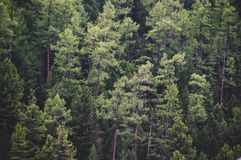 Healthy Green Trees In A Forest Of Old Spruce, Stock Images