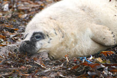 Healthy Grey Seal Pup Stock Photography