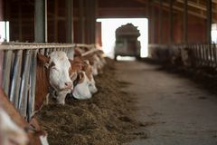 Healthy and happy cows in a barn, getting some food. Can be used as background royalty free stock photo