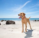 Healthy and happy Labrador retriever dog on a sandy beach. A happy and healthy Labrador retriever dog standing on a white sandy beach with the ocean behind in a royalty free stock image
