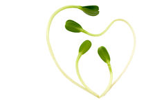 Healthy heart. Sunflower sprouts making an healthy heart, isolated on white, with clipping path royalty free stock photo