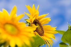 Healthy  helianthus annuus Stock Images