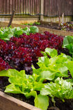 Healthy Home Grown Lettuces Royalty Free Stock Image