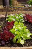 Healthy Home Grown Lettuces in a raised bed. View across a raised bed full of healthy lettuce plants, both red and green Royalty Free Stock Photography