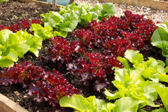 Healthy Home Grown Lettuces Stock Image