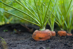 Healthy Homegrown Carrots Royalty Free Stock Photo