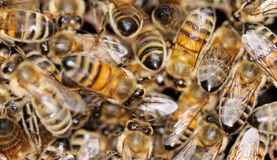 Healthy honeybees. Stock Photos
