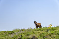 Healthy Horse on a hill. Healthy brown horse standing alone on a green hill in Jeju Island, korea Royalty Free Stock Photo