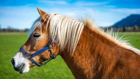 Healthy Horse In A Pasture Portrait royalty free stock image