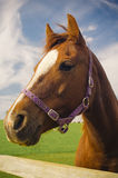 Healthy horse portrait Royalty Free Stock Photo