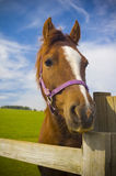 Healthy horse portrait Stock Image