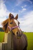 Healthy horse portrait Stock Images