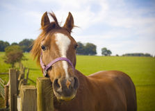 Healthy horse portrait Stock Photography