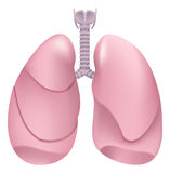 Healthy human lungs. Respiratory system. Lung, larynx and trachea of healthy person Stock Photos