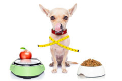 Healthy hungry dog. Healthy hungry chihuahua dog with bowl and scale , isolated on white background Royalty Free Stock Photo