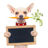 Healthy hungry dog. Chihuahua dog eating healthy with a carrot in mouth , holding a blank banner ,blackboard or placard, isolated on white background Royalty Free Stock Image