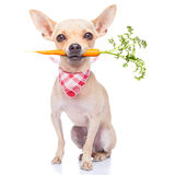 Healthy hungry dog. Chihuahua dog eating healthy with a carrot in mouth , isolated on white background Royalty Free Stock Photos
