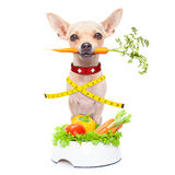 Healthy hungry dog. Healthy hungry chihuahua dog with measuring tape and a healthy vegan food bowl , carrot in mouth, isolated on white background Royalty Free Stock Image