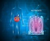 Healthy intestine villi Stock Image