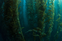Healthy Kelp Forest. Giant kelp (Macrocystis pyrifera) grows in a thick, healthy forest off the coast of California. Kelp provides important habitat for many Stock Photos