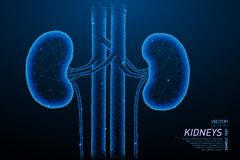 Healthy kidneys structure. Abstract polygonal light of healthy kidneys structure. Business wireframe mesh spheres from flying debris. Human organ concept. Blue royalty free illustration