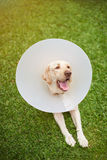 Healthy labrador dog with cone collar Royalty Free Stock Image