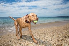 Healthy labrador running on beach stock photos