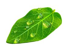 Healthy leaf royalty free stock image
