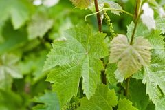 Healthy leaf vine in vineyard. A vine Latin vīnea `grapevine`, `vineyard`, from vīnum `wine` is any plant with a growth habit of trailing or scandent that royalty free stock image