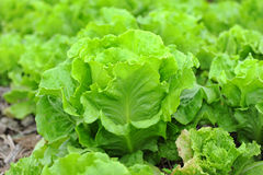 Healthy lettuce Stock Photo