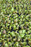 Healthy lettuce growing in pots Royalty Free Stock Photos
