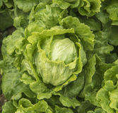 Healthy lettuce Royalty Free Stock Photography
