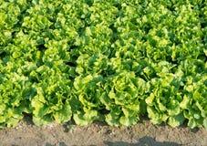 Healthy lettuce Stock Image
