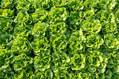 Healthy lettuce Stock Photography