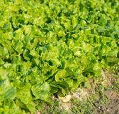 Healthy lettuce Stock Images