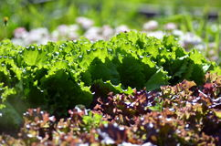 Healthy lettuce growing in the soil. Fresh green lettuce salad leaves closeup. Salad texture.Green lettuce growing in vegetable garden Stock Photography
