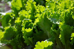Healthy lettuce growing in the soil. Fresh green lettuce salad leaves closeup. Salad texture.Green lettuce growing in vegetable garden Royalty Free Stock Images