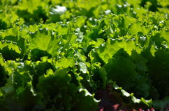 Healthy lettuce growing in the soil. Fresh green lettuce salad leaves closeup. Salad texture.Green lettuce growing in vegetable garden Stock Image