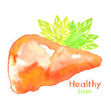Healthy liver watercolor Royalty Free Stock Image