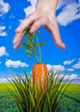 Healthy living. A human hand is about to pick a fresh carrot Stock Image