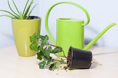 Healthy looking green potted plants. Green leafed indoor potted plants with a bright green plastic watering pot royalty free stock photo