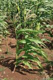 Healthy maize (corn) plants in the field Royalty Free Stock Photos