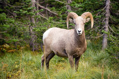 Healthy Male Bighorn Sheep Wild Animal Montana Wildlife. Bighorn Sheep stares photographer down in Glacier National Park Stock Photography