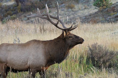Healthy male elk. During rutting season in Rocky Mountain National Park stock photos