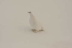 Healthy male ptarmigan Royalty Free Stock Photography