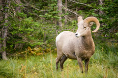 Healthy Male Ram Bighorn Sheep Wild Animal Montana Wildlife. Bighorn Sheep stares photographer down in Glacier National Park Stock Images