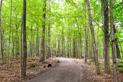 Healthy maple forest pathway during summer. With mature tree Stock Photography