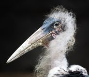 Healthy Marabou Stork with Scruffy Feathers. Portrait of the scruffy looking Marabou Stork from Africa stock photos