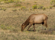 Healthy Mature Cow Elk Grazing in Open Field during late summer Royalty Free Stock Photo