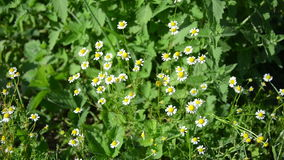 Healthy natural alternative medicine camomile flower blossoms stock footage